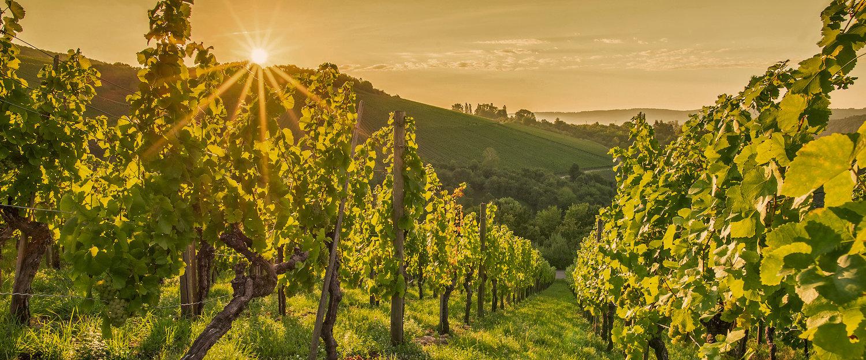 Prachtige wijngaarden in de regio
