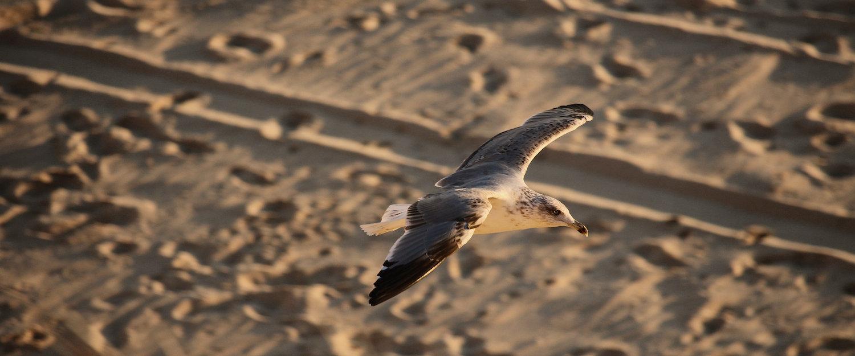 Gaviota en la playa de Matalascañas