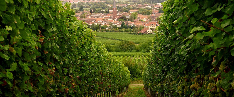 Idyllische Weinberge in der Pfalz
