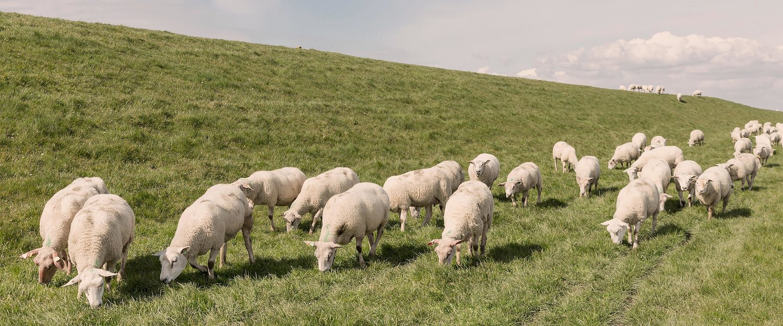 Schafherden in Büsum