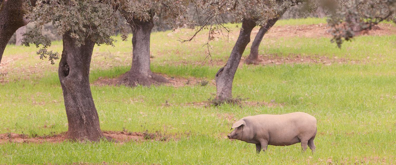 El cerdo ibérico en los paisajes de Fuenteheridos