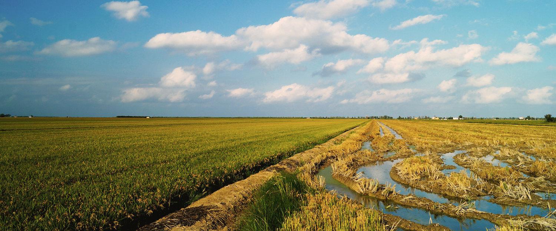 Arrozal en el delta del Ebro, Deltebre