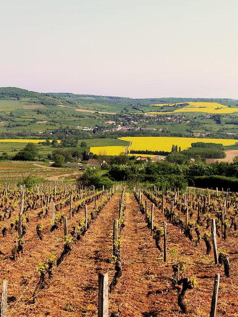 Vigne de Beaune