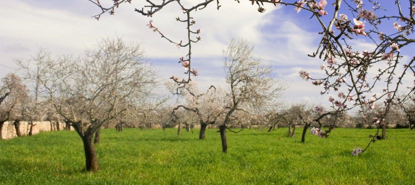 Kirsebærtreblomstrnig på Mallorca