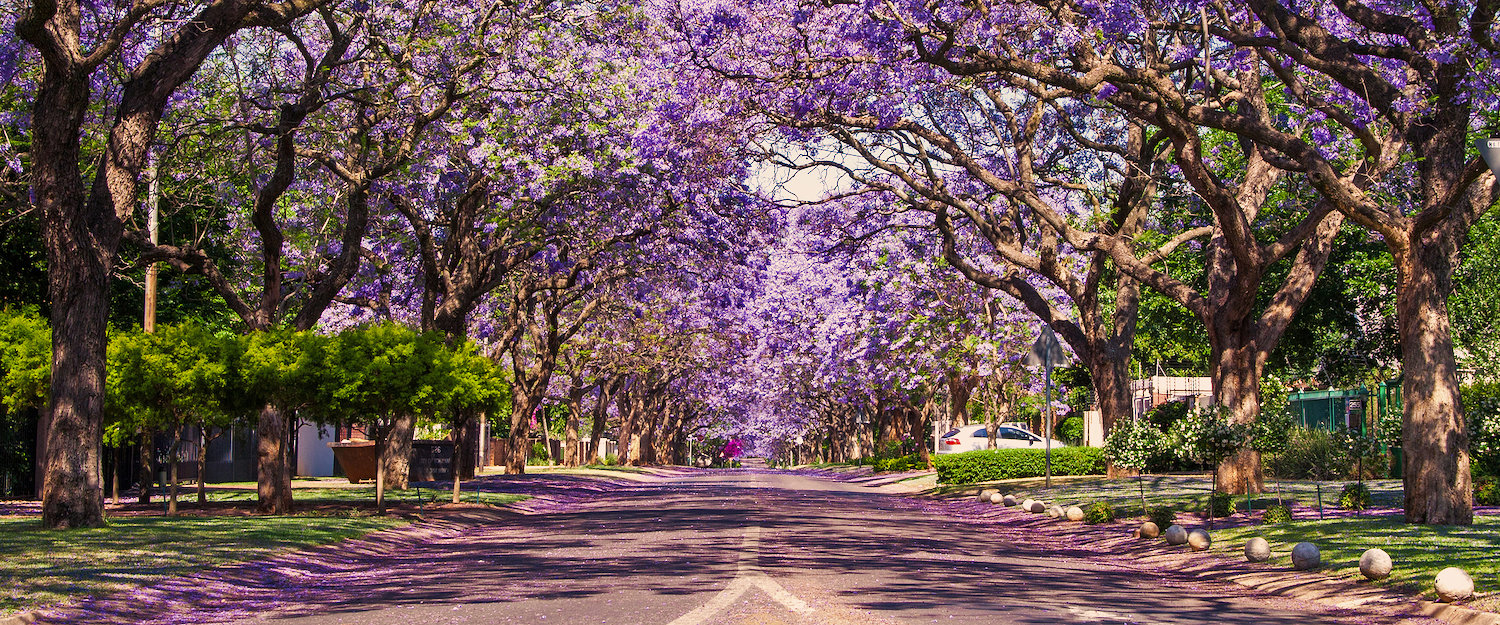 Jaracanda trees avenue in South Africa