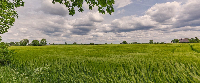 Hoog grasveld in de Kempen