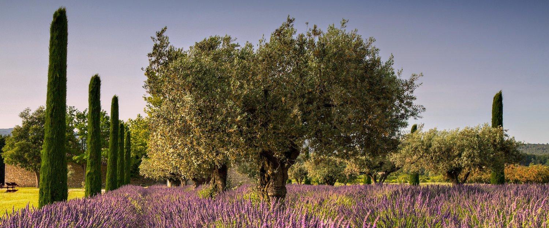 Oliviers dans la Provence