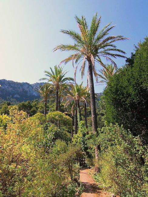 Palmier, Majorque centrale