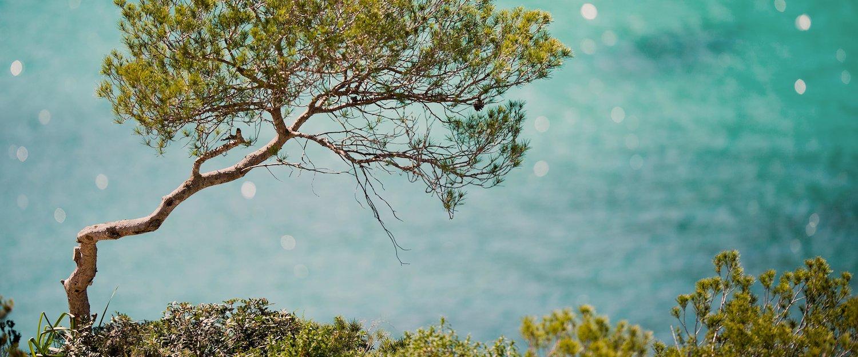 Eine einsame Kiefer an der azurblauen Bucht
