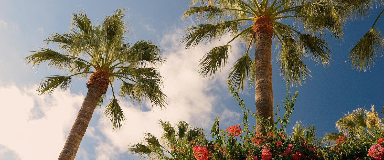 Las típicas palmeras de Sant Elm