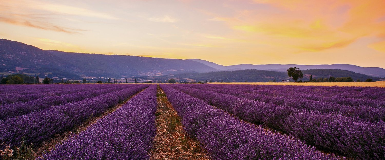 Die berühmten Lavendel-Felder in der Provence